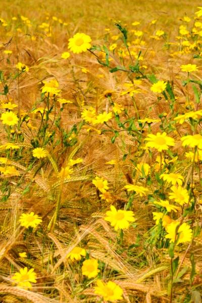Corn Marigolds, Blairtua, Black Isle