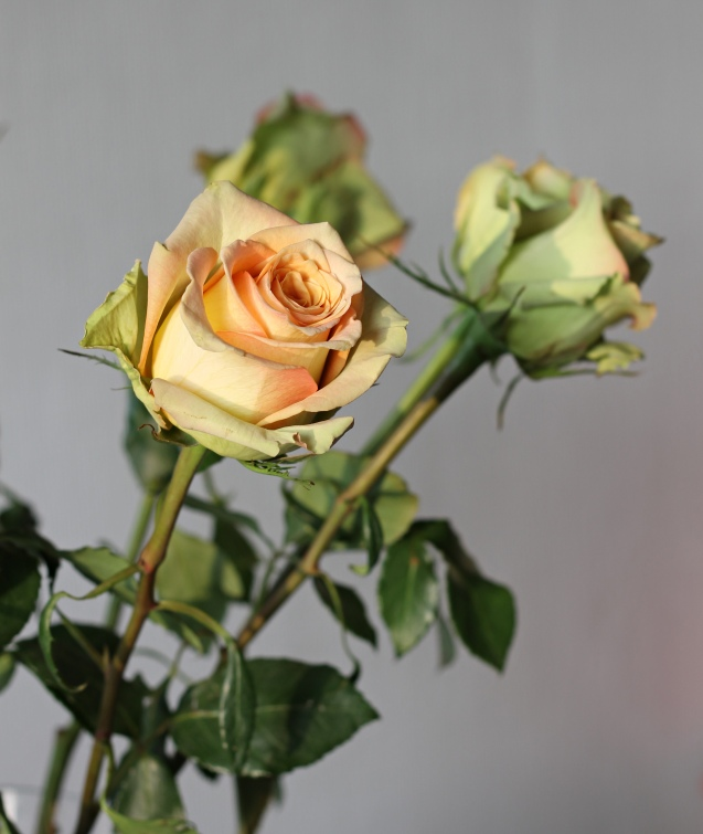 rose__in_golden_sun_1
