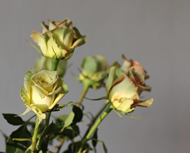 rose__in_golden_sun_10