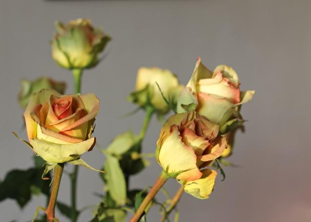 rose__in_golden_sun_11