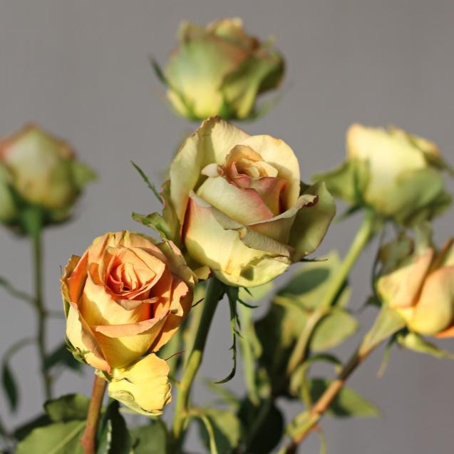 rose__in_golden_sun_12