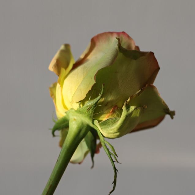 rose__in_golden_sun_13