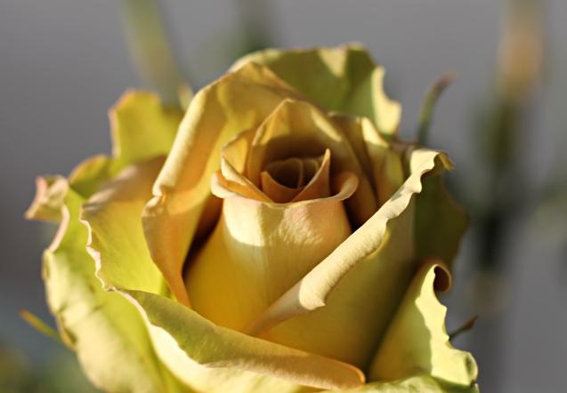 rose__in_golden_sun_14