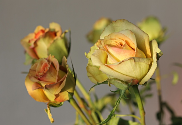 rose__in_golden_sun_15