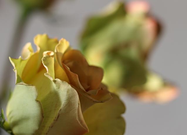 rose__in_golden_sun_16