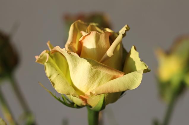 rose__in_golden_sun_18