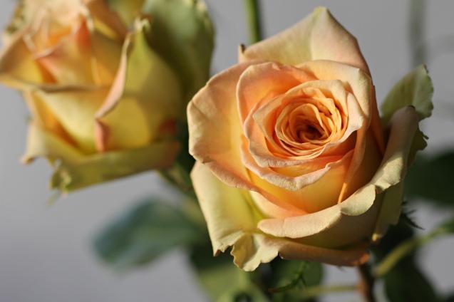 rose__in_golden_sun_2