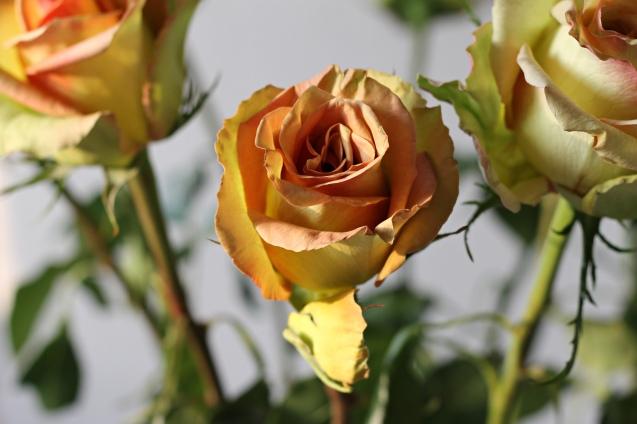rose__in_golden_sun_3