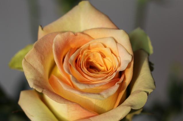 rose__in_golden_sun_4