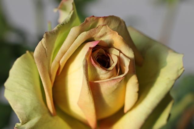 rose__in_golden_sun_6