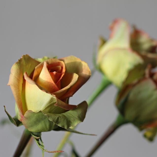 rose__in_golden_sun_7