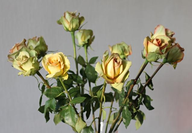 rose__in_golden_sun_8