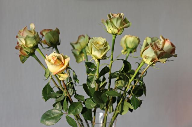 rose__in_golden_sun_9