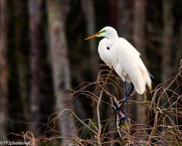 Great Egret Late Afternoon - Click To Enlarge