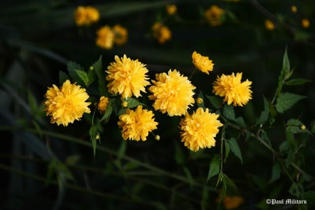 wild tree yellow flowers